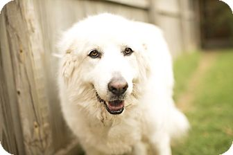 Great Pyrenees Dog for adoption in Tulsa, Oklahoma - Ziva Adopted