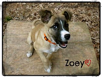 Collie Mix Puppy for adoption in Chester, Connecticut - Zoey