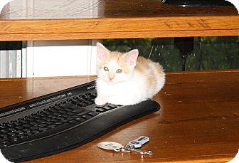 Domestic Mediumhair Kitten for adoption in Nashville, Tennessee - Martin