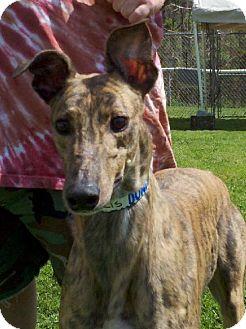 Greyhound Dog for adoption in Randleman, North Carolina - Hollis