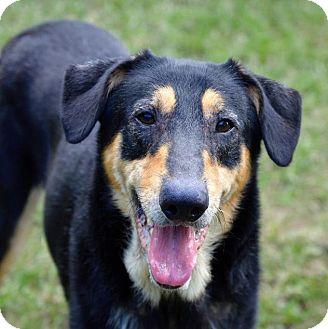 Collie Mix Dog for adoption in Boston, Massachusetts - Lobo