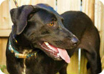 Labrador Retriever Mix Dog for adoption in Corpus Christi, Texas - Merlin
