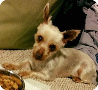 Yorkie, Yorkshire Terrier Dog for adoption in Fairview Heights, Illinois - Amarah and Bally