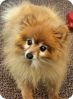 Pomeranian Mix Dog for adoption in Tijeras, New Mexico - Marlow