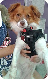 Pomeranian/Spaniel (Unknown Type) Mix Dog for adoption in Thousand Oaks, California - Jessica