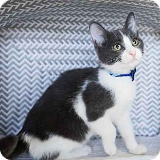 Domestic Shorthair Kitten for adoption in Montclair, California - Karl