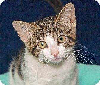 Domestic Shorthair Kitten for adoption in Elmwood Park, New Jersey - Sky