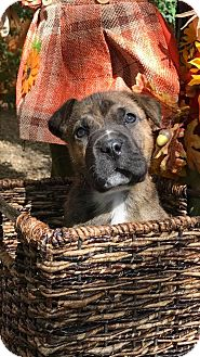 Shar Pei Mix Puppy for adoption in Phoenix, Arizona - Snoopy