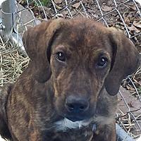 Adopt A Pet :: Cindi Lu AD 05-06-17 - Preston, CT