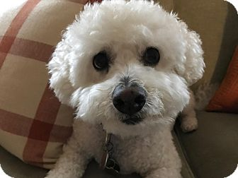 Bichon Frise Dog for adoption in Cranford, New Jersey - Tiger