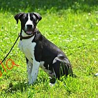 Adopt A Pet :: Lola - Lebanon, MO