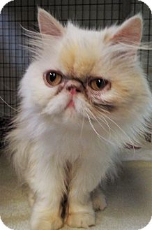 Persian Cat for adoption in Grants Pass, Oregon - Angel