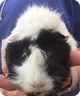 Guinea Pig for adoption in haslet, Texas - petunia