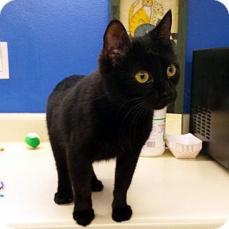 Domestic Shorthair Cat for adoption in Stillwater, Oklahoma - Ben