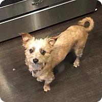 Adopt A Pet :: Scarlett - Van Nuys, CA