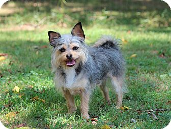 Yorkie, Yorkshire Terrier/Chihuahua Mix Dog for adoption in Yadkinville, North Carolina - Atlas Eugene