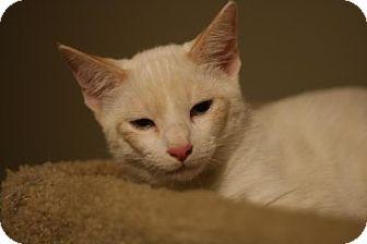 Domestic Shorthair Cat for adoption in Cary, North Carolina - Rubix