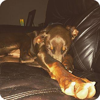 Doberman Pinscher Dog for adoption in Lloyd, Florida - GUNNER