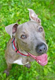 Staffordshire Bull Terrier/Pit Bull Terrier Mix Dog for adoption in Columbus, Ohio - Storm