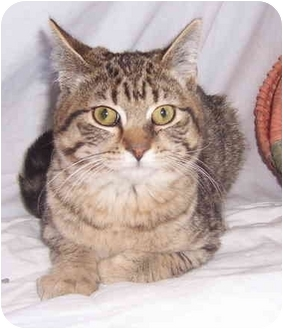 Domestic Shorthair Cat for adoption in Oklahoma City, Oklahoma - Shorty