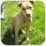 Photo 2 - Labrador Retriever/American Pit Bull Terrier Mix Dog for adoption in Berkeley, California - Ollie