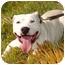 Photo 3 - American Bulldog/American Pit Bull Terrier Mix Dog for adoption in Rolling Hills Estates, California - Cheeto