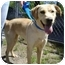 Photo 4 - Labrador Retriever Mix Dog for adoption in Greenville, North Carolina - Skitter