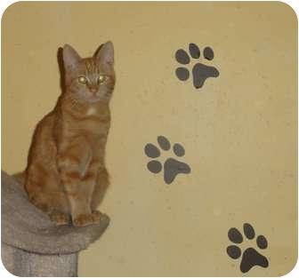 Domestic Shorthair Kitten for adoption in Barnegat, New Jersey - Blaze