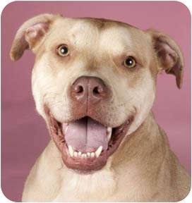American Pit Bull Terrier Mix Dog for adoption in Chicago, Illinois - Weber
