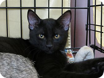 Domestic Shorthair Kitten for adoption in Frederick, Maryland - Cody