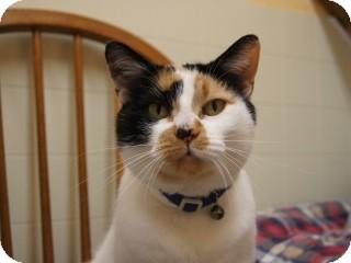 Calico Cat for adoption in Libby, Montana - Ana