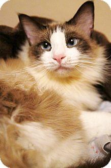 Ragdoll Cat for adoption in Medford, Massachusetts - Molly