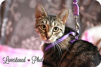 Bengal Cat for adoption in Cincinnati, Ohio - Trootie: Covedale