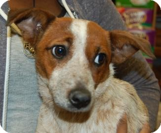 Jack Russell Terrier Mix Puppy for adoption in Brooklyn, New York - Daniella