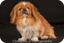 Pekingese Mix Dog for adoption in Oklahoma City, Oklahoma - Peanut