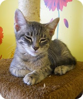 Domestic Shorthair Kitten for adoption in Mobile, Alabama - Bogart
