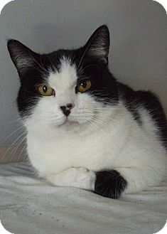Domestic Shorthair Cat for adoption in Acushnet, Massachusetts - Patches