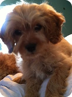 King Charles Spaniel/Poodle (Miniature) Mix Puppy for adoption in Somers, Connecticut - Nicki