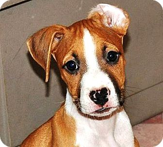 Boxer Mix Puppy for adoption in Vista, California - Manny