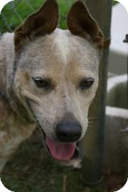 Australian Cattle Dog Mix Dog for adoption in Brooksville, Florida - Uno