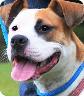Boxer Mix Dog for adoption in Wakefield, Rhode Island - IZZY(SHE DESERVED BETTER!!