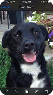 Labrador Retriever Mix Dog for adoption in Hatifeld, Pennsylvania - Sapphire