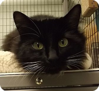 Domestic Longhair Cat for adoption in Grants Pass, Oregon - Asia