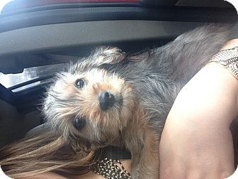 Terrier (Unknown Type, Small)/Yorkie, Yorkshire Terrier Mix Puppy for adoption in Hazard, Kentucky - Reese