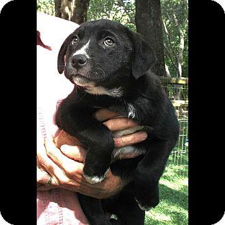 Border Collie/Labrador Retriever Mix Puppy for adoption in Corning, California - Tom Sawyer