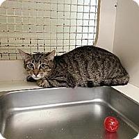 Domestic Shorthair Kitten for adoption in Miami, Florida - Lupita
