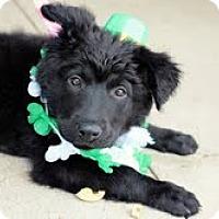Adopt A Pet :: Seagram - justin, TX