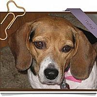 Adopt A Pet :: Taffee - Portland, OR