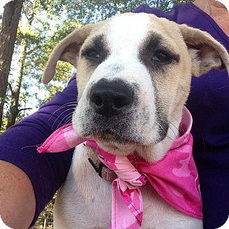 Labrador Retriever Mix Puppy for adoption in Glenburn, Maine - Hope