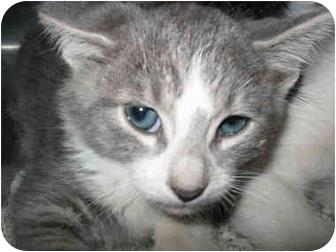 Domestic Shorthair Kitten for adoption in South Lake Tahoe, California - Frank